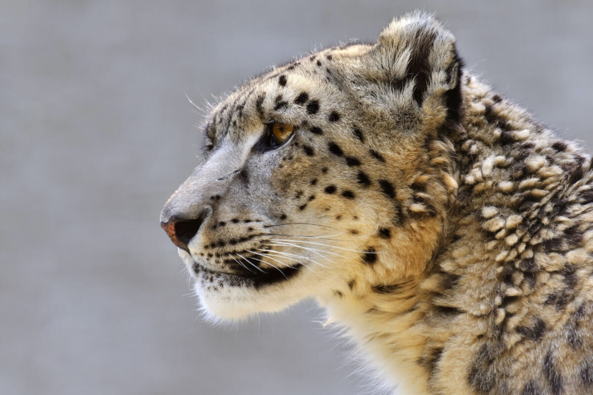 Snow Leopard, Ulley, India
