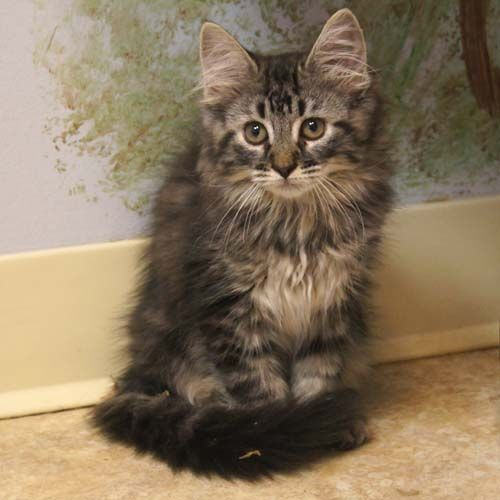 Breeding Maine Coon Cats
