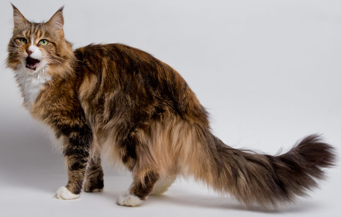 Maine Coon Prices