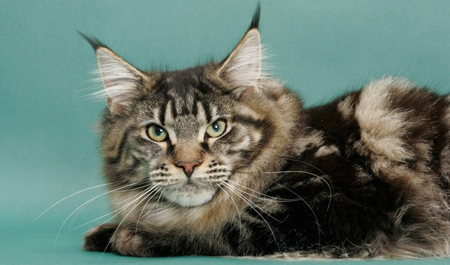 Maine Coon is a Mix
