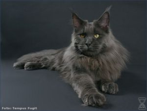 Maine coon solide