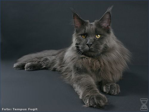 Solid Maine coon