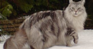 male Maine Coon cat