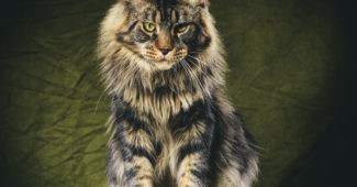 Maine coon aggression