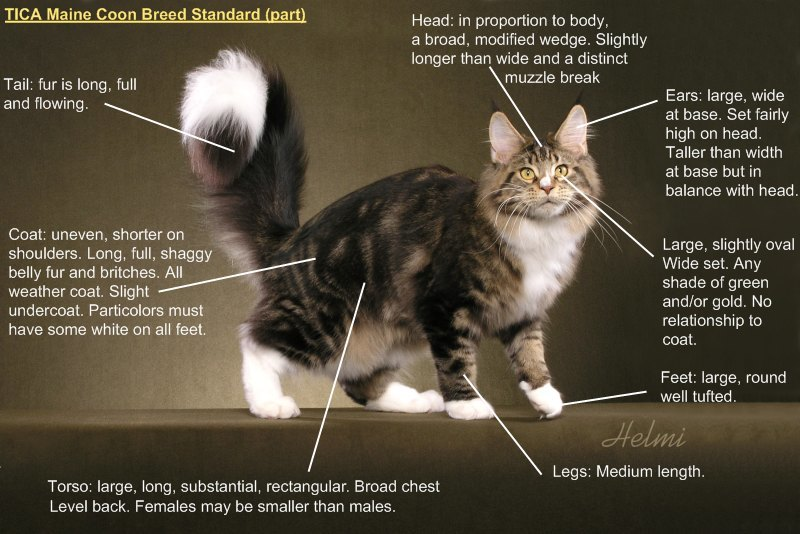 Maine coon standards