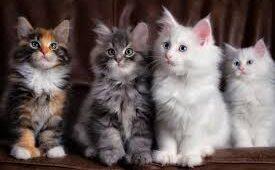 Maine Coon kitten health, care