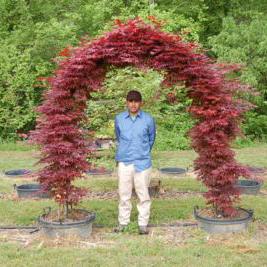 Acer Palmatum 'Bloodgood' (Bloodgood Japanese Maple)