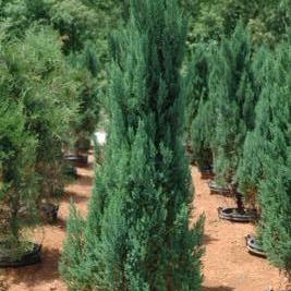 Juniperus Chinensis 'Blue Point' (Blue Point Juniper)