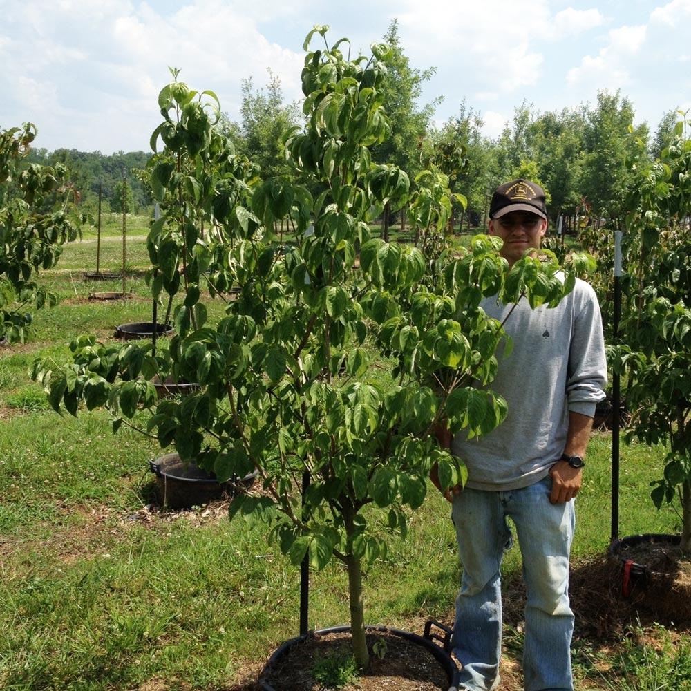 Cornus Florida 'Cherokee Brave' (PP 10166) (Cherokee Brave Dogwood)