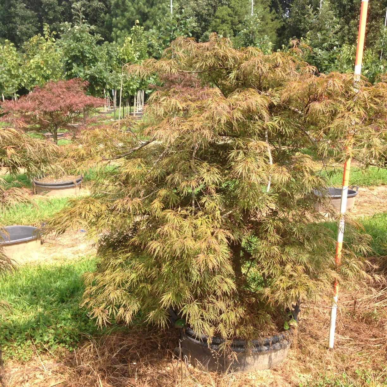 Acer Palmatum Dissectum 'Crimson Queen' (Crimson Queen Japanese Maple)