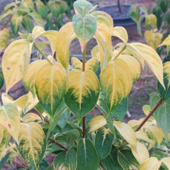 Cornus Kousa 'Crown Jewel' (Crown Jewel Chinese Dogwood)