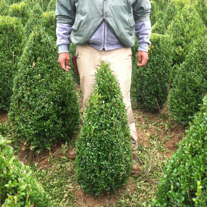 Buxus X 'Green Mountain' ((Green Mountain Boxwood))