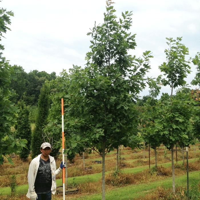 Quercus Borealis Rubra (Northern Red Oak)