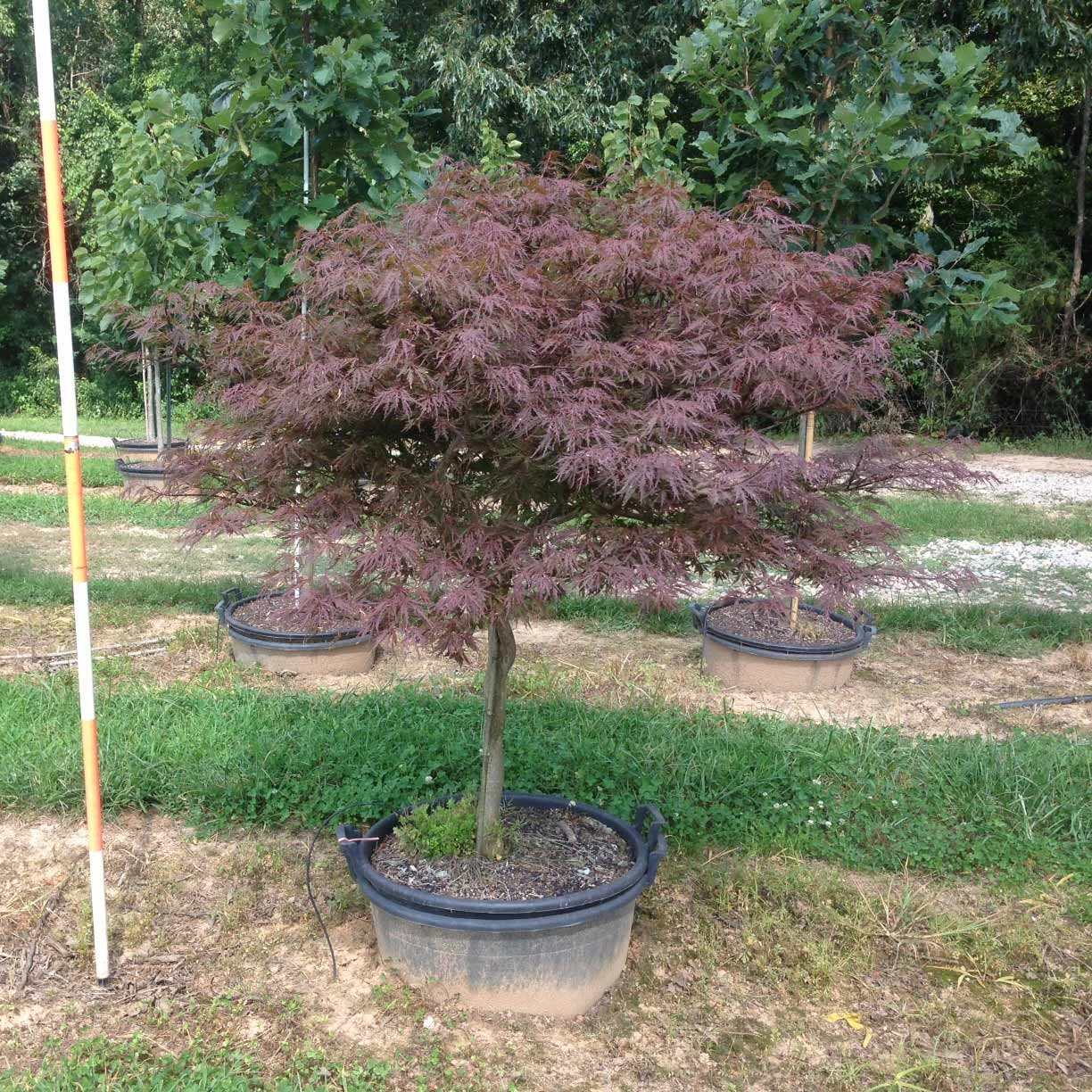 Acer Palmatum Dissectum 'Red Dragon' (Red Dragon Japanese Maple)