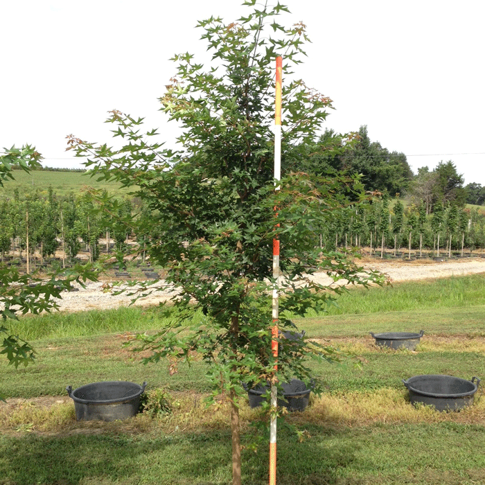 Acer Truncatum (Shantung Maple)