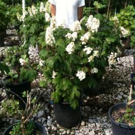 Hydrangea Quercifolia 'Snow Queen' (Snow Queen Hydrangea)