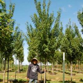 Acer Rubrum X 'Sun Valley' (Sun Valley Maple)