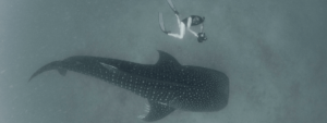 Freediving with whale shark