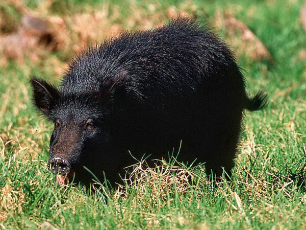 SKINNING OF WILD HOG MAY LEAD TO DISEASE