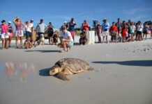 Sea turtle at beach with onlookers in background