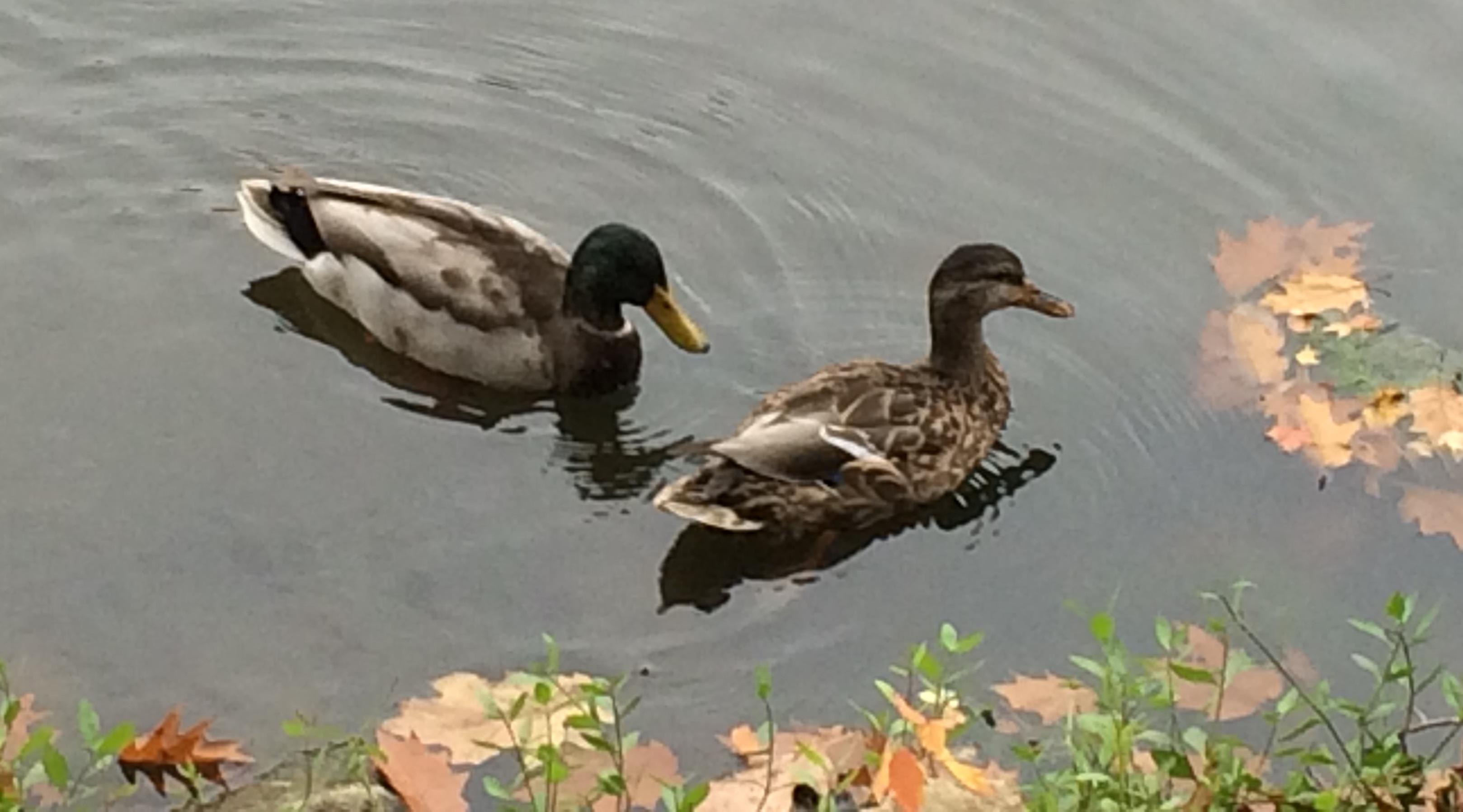 ducksinfall
