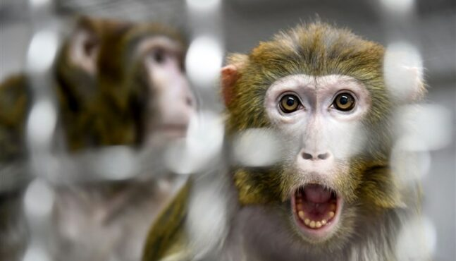 Chinese Scientists Add Human Genes to Monkey Brains