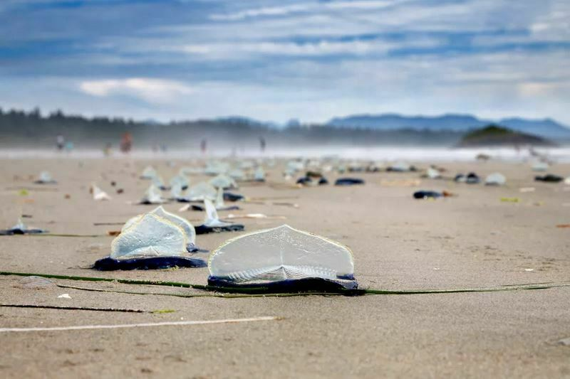 Why Are Millions of Dead Jellyfish Appearing on Beaches?