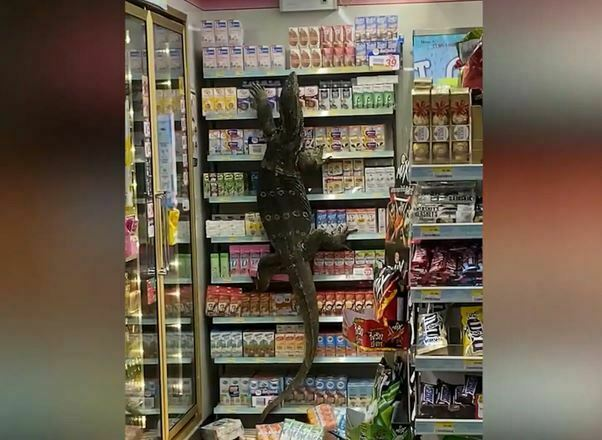 Giant Lizard Sneaks Into Store and Ransacks Shelves, Sends Customers into Hiding