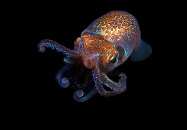 Why is NASA Blasting Glow-in-the-dark Baby Squid Into Space?