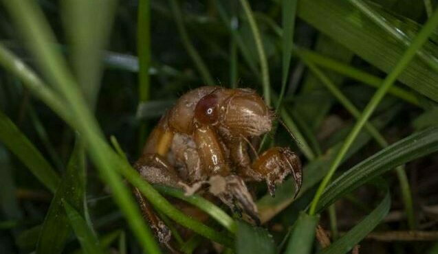 Trillions of Cicadas Are About to Emerge in These States