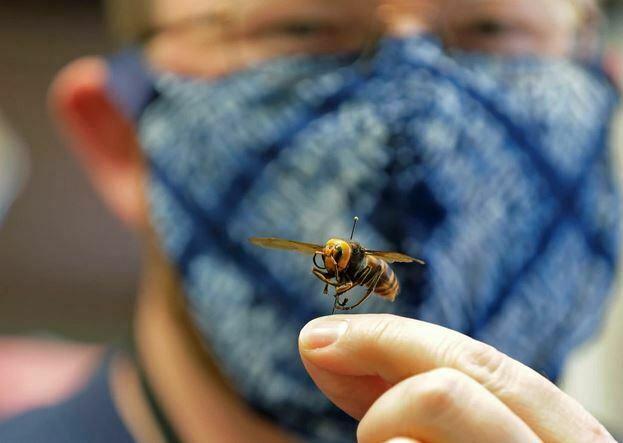 Man Holding Asian Giant Hornet