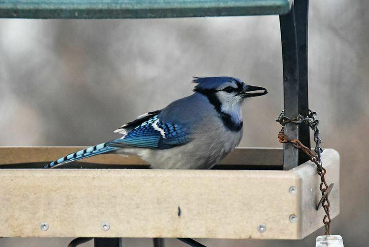 Blue Jay Sitting In Birdfeeder