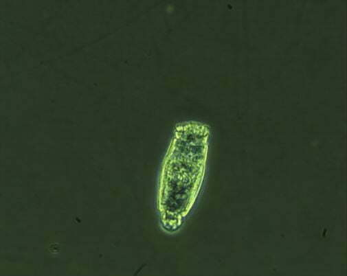Rotifer Under A Microscope