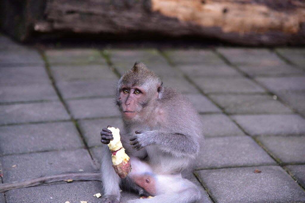 Monkey's in Bali Raids Homes Seeking Food To Survive