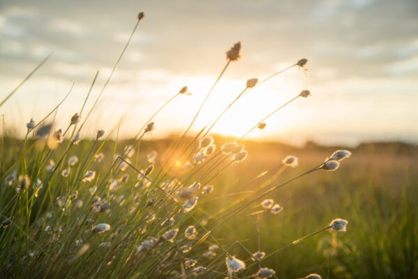 Picture of sunlight over a field of small flowers.