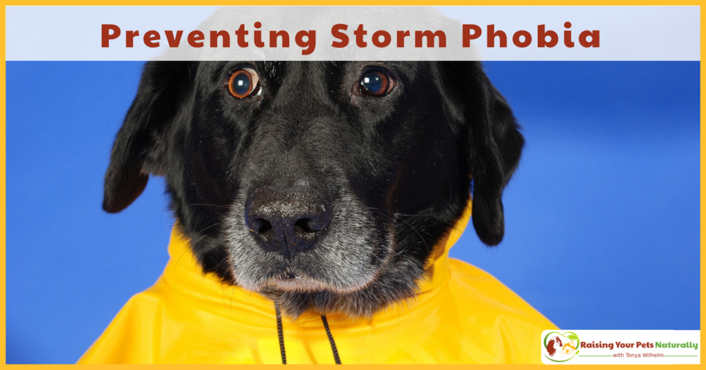 Preventing a dog or puppy from being scared of storms. A dog scared of thunder is much hard to treat than teaching a dog or puppy that storms are fun! #raisingyourpetsnaturally