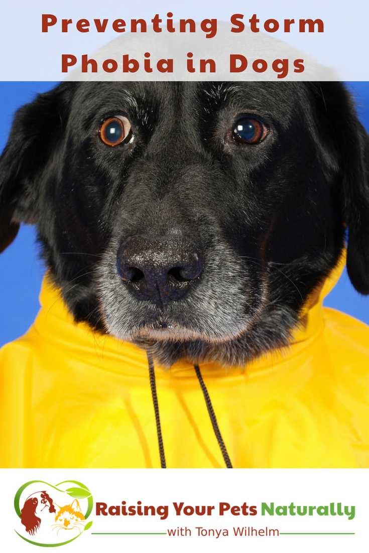 Preventing a dog or puppy from being scared of storms. A dog scared of thunder is much hard to treat than teaching a dog or puppy that storms are fun! #raisingyourpetsnaturally #fearfuldogs #dogsafraid #dogsscared #scareddogs