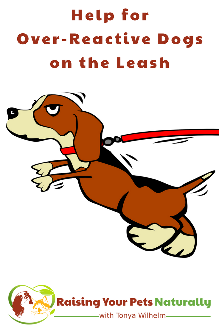 Is your dog lunging at the end of his leash? Whether he's unhappy around other dogs or just too excited, these tips can help. Bonus video! #raisingyourpetsnaturally #dogtraining #positivedogtraining #doglunging #dogaggression