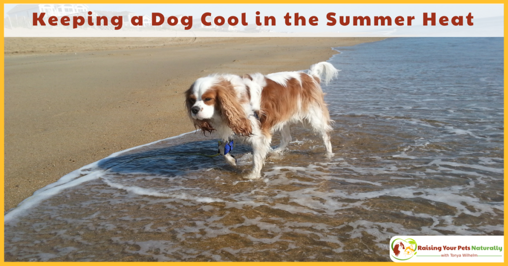 Learn how to keep a dog cool ans safe during the summer heat. Summer safety tips for dogs and avoiding dog heat stroke. #raisingyourpetsnaturally