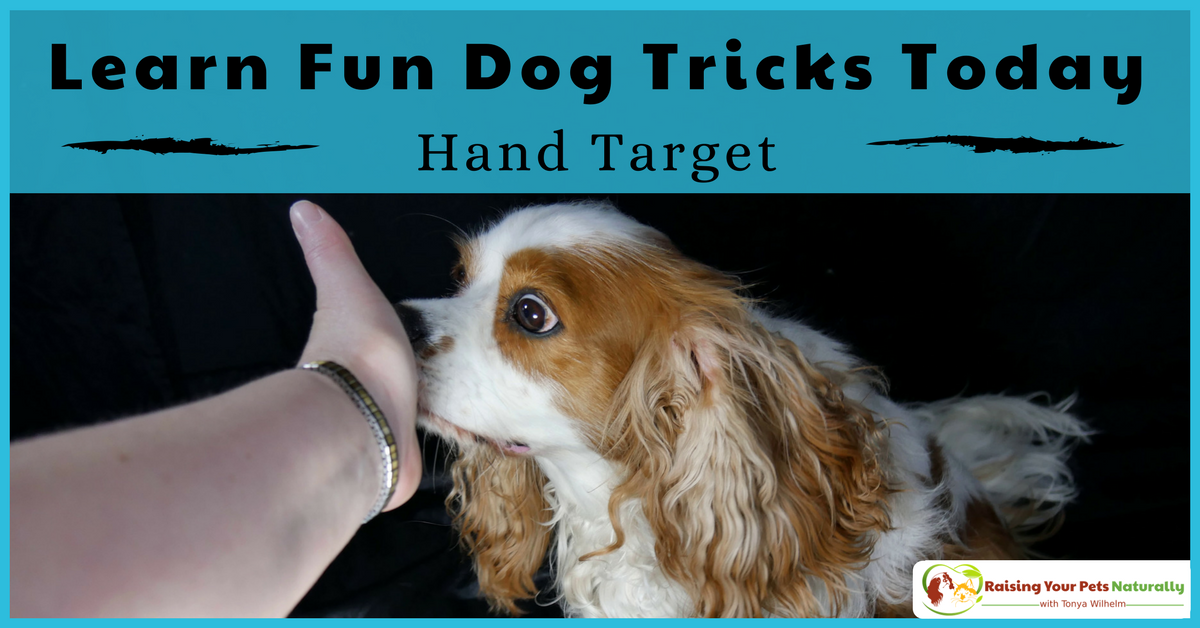 Tricks to teach your dog. How to teach a dog to hand target. This fun dog trick has many practical uses. Learn why it's one of my favorites. Bonus Video. #raisingyourpetsnaturally #dogtricks #cooldogtricks #easydogtricks #handtarget #teachadogtricks