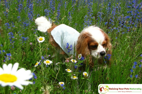 Supplements for Dogs, Especially Senior Dogs! I spoke with two of Dexter's holistic veterinarians on the best supplements for dogs. Click to read their dog supplement recommendations. #raisingyourpetsnaturally #naturaldogs #realfoodfordogs #dogsupplements #seniordogs #seniordogcare