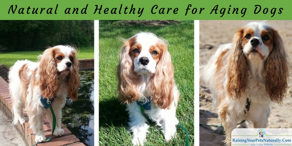 Natural and Healthy Care for Aging Dogs. Tips on helping your dog stay healthy and happy as he ages. #raisingyourpetsnaturally