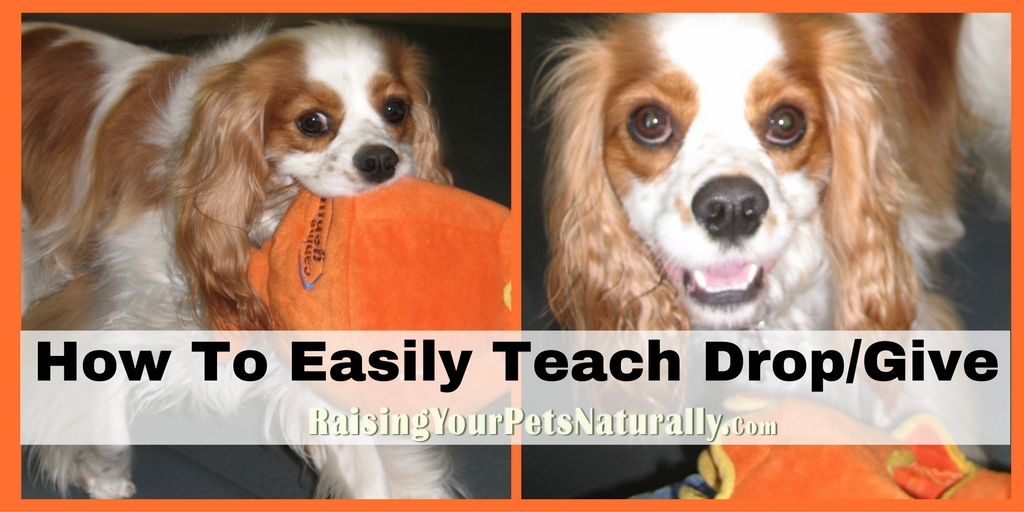 How to Teach a Dog to Drop it. Learn how to teach a dog to drop it in these simple positive dog training steps. #raisingyourpetsnaturally