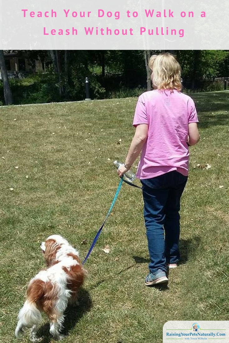 Learn how to teach your dog to walk politely on a leash without pulling and without pain. #raisingyourpetsnaturally #dogtraining #positivedogtraining #naturaldogtraining #dogwalking #dogtrainingtips #walkingthedog #walkingadog