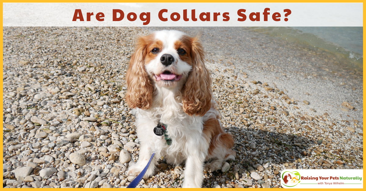 Have you ever wondered if walking your dog on a dog collar was safe? Even the best-behaved dog may randomly hit the end of his leash. Learn the possible injuries that can occur. #raisingyourpetsnaturally