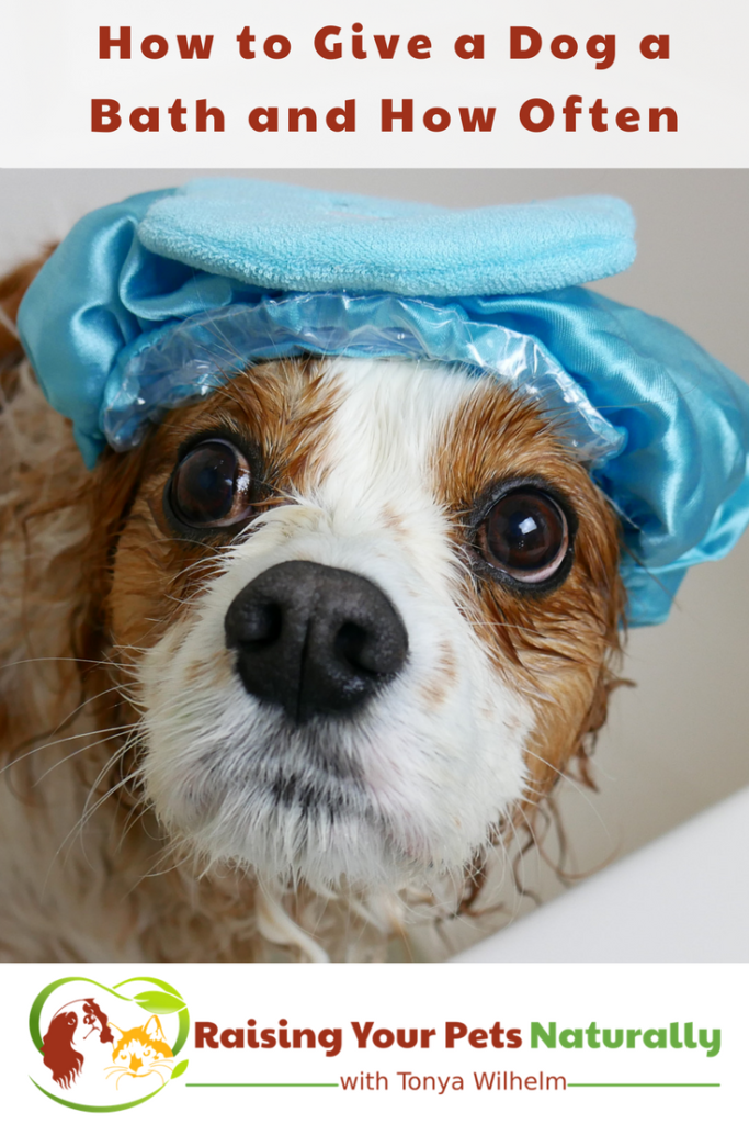 Learn How to Give a Dog a Bath and How Often Should You Give your Dog a Bath. #raisingyourpetsnaturally #doggrooming #dogbaths #bathingadog #dogshampoo #naturaldogshampoo #organicdogshampoo