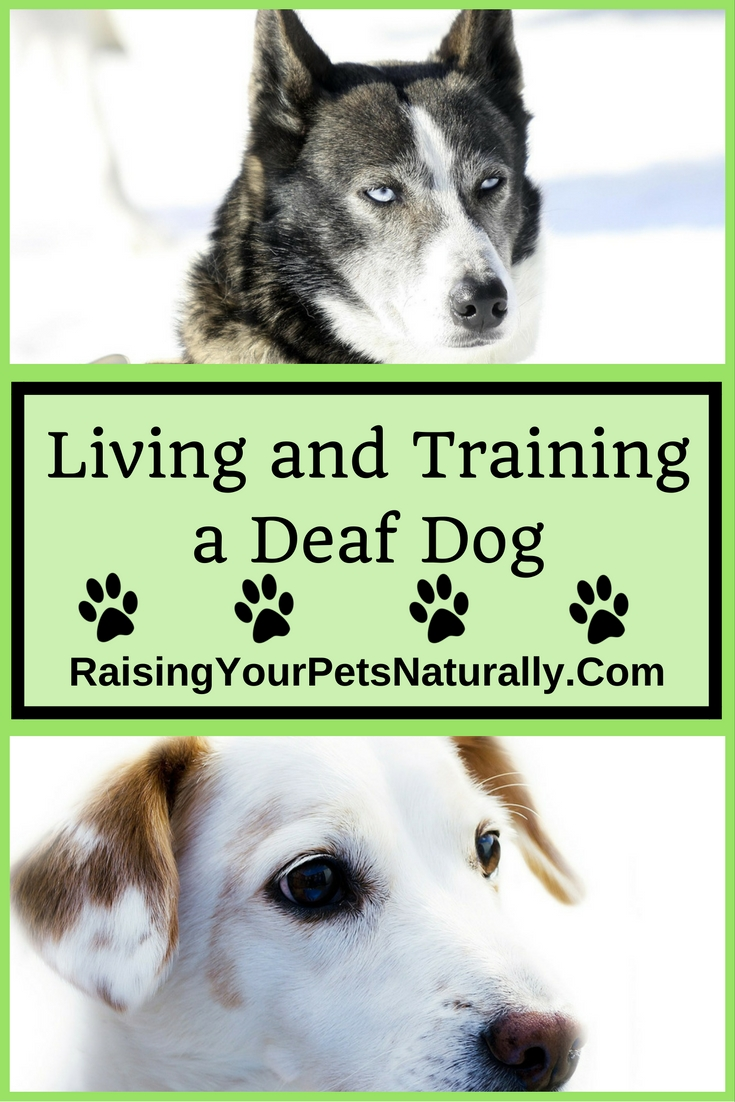 Deaf Dogs and How to Train a Deaf Dog. Training deaf dogs isn't as hard as you may think, #raisingyourpetsnaturally #deafdogs #deafdogsrock #deafodgtraining