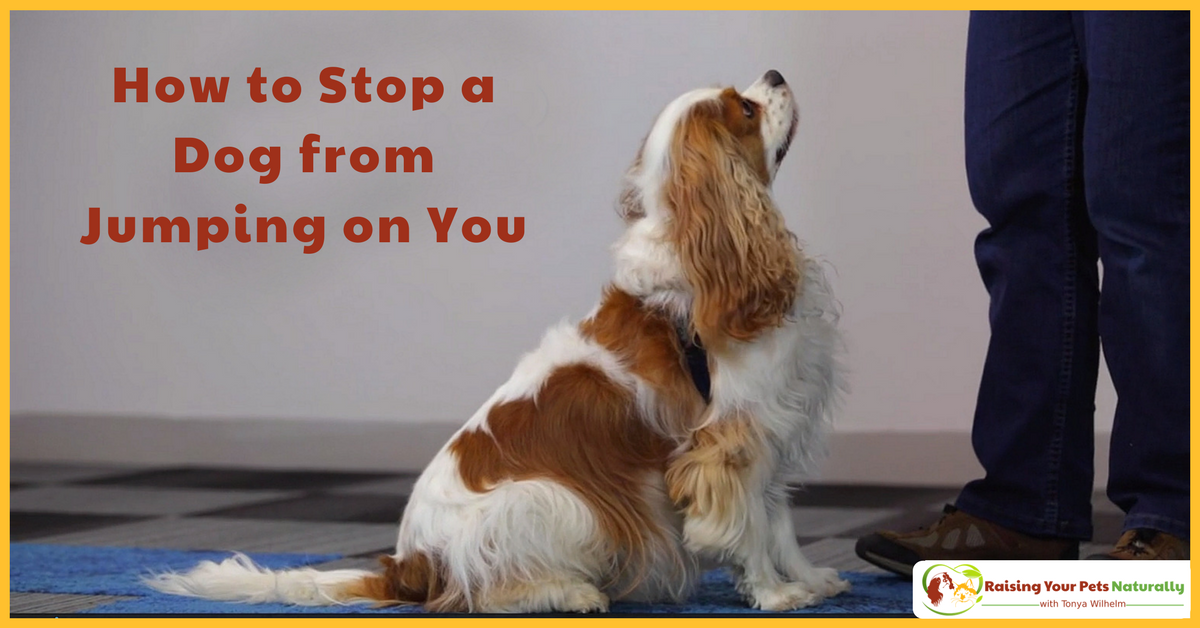 How to stop a dog from jumping on you. Step one, teach your dog a reliable sit behavior. Step two, teach your dog to read your mind. Learn How. #raisingyourpetsnaturally