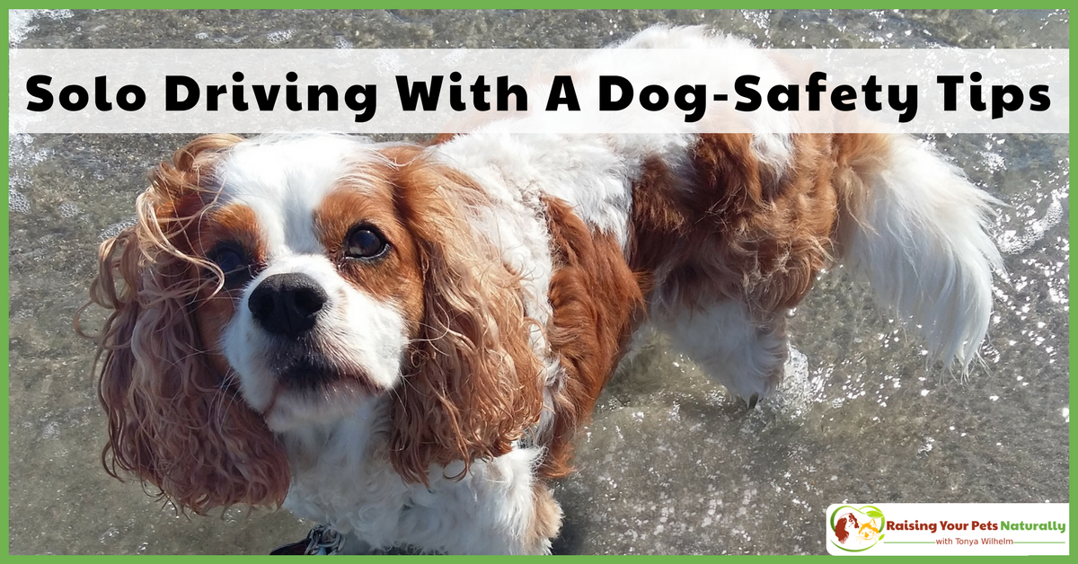 Being an independent female, I often hit the open road with Dexter The Dog and no other people. Here are some of my best travel safety tips. #raisingyourpetsnaturally