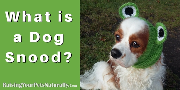 Does your dog have a dog snood? What? You have no idea what I'm talking about? A dog snood is a wonderful accessory that gently holds a dog's ears back and out of his face. This is NOT to be confused with a tight dog bun, or clamping a dog's ears back with a chip clip, which can be painful. This is so a dog can eat his food, chew a bone, or even play without eating his ears in the process. They are amazing! I've actually considered having Dexter wear his while we take a walk, because he often steps on his ears while he is sniffing the ground. Silly boy.